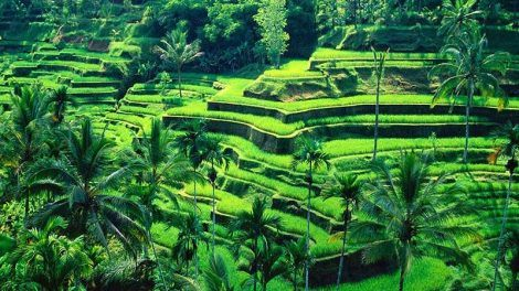 Rice fields Bali: Tegallalang rice fields in Central Bali